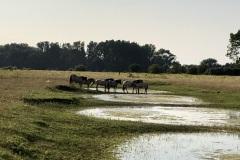 paarden in Natuurpunt natuurgebied